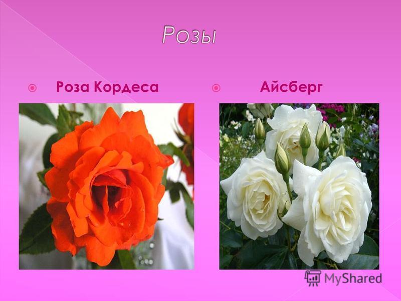Роза Кордеса Айсберг