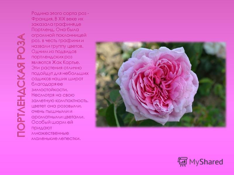 Родина этого сорта роз - Франция. В XIX веке их заказала графиня де Портленд. Она была огромной поклонницей роз, в честь графини и назвали группу цветов. Одним из подвидов портлендских роз являются Жак Картье. Эти растения отлично подойдут для неболь
