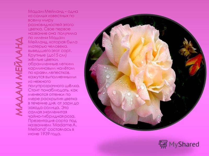 Мадам Мейланд – одна из самых известных по всему миру разновидностей этого цветка. Свое первое название она получила по имени Мадам Мейланд, которая была матерью человека, выведшего этот сорт. Крупные (до 15 см) жёлтые цветки, обрамленные легким карм
