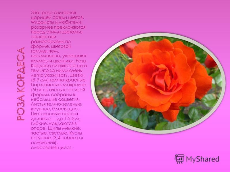 Эта роза считается царицей среди цветов. Флористы и любители розариев преклоняются перед этими цветами, так как они разнообразны по форме, цветовой гамме, чем, несомненно, украшают клумбы и цветники. Розы Кордеса славятся еще и тем, что за ними очень