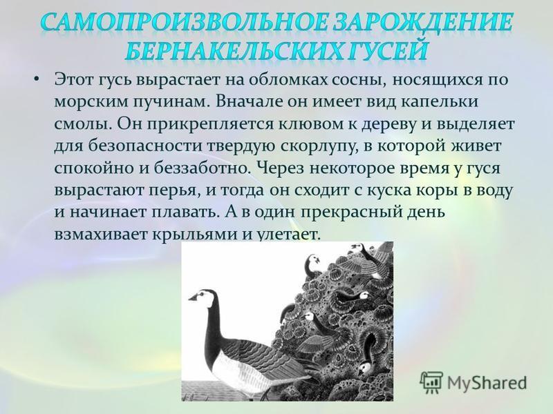 Этот гусь вырастает на обломках сосны, носящихся по морским пучинам. Вначале он имеет вид капельки смолы. Он прикрепляется клювом к дереву и выделяет для безопасности твердую скорлупу, в которой живет спокойно и беззаботно. Через некоторое время у гу