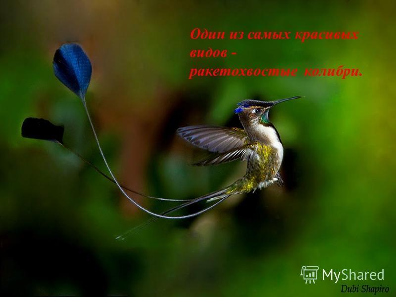 К К этому отряду принадлежат мелкие птицы, величина которых колеблется от шмеля до ласточки. Движение крыльев так быстро, что очертания их совершенно сливаются. Полёт их чрезвычайно быстрый -до 80 км/ч.