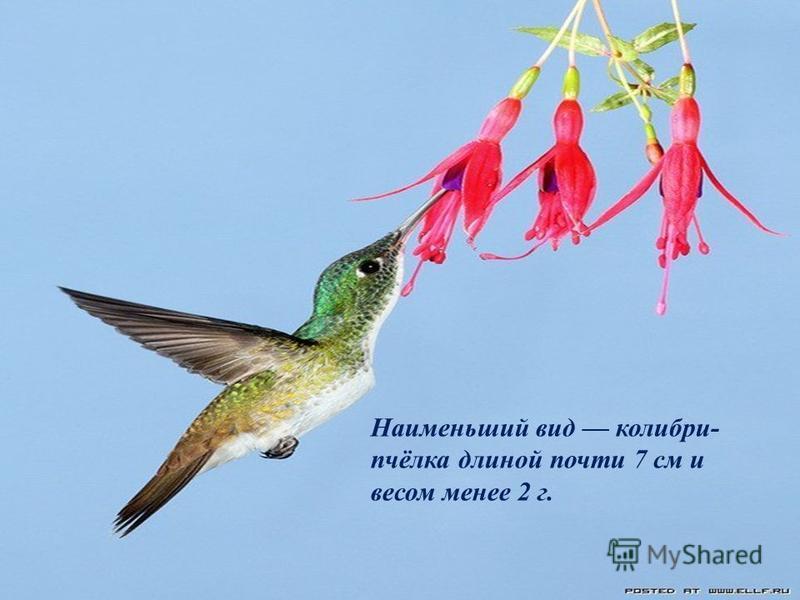 Один из самых красивых видов - ракетохвостые колибри.
