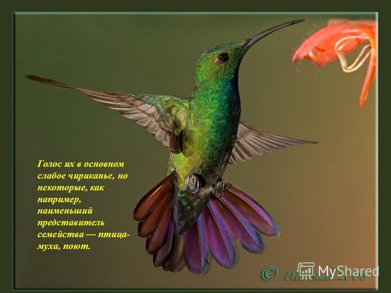 Птенцы колибри рождаются без перьев и чаще с черной кожей.