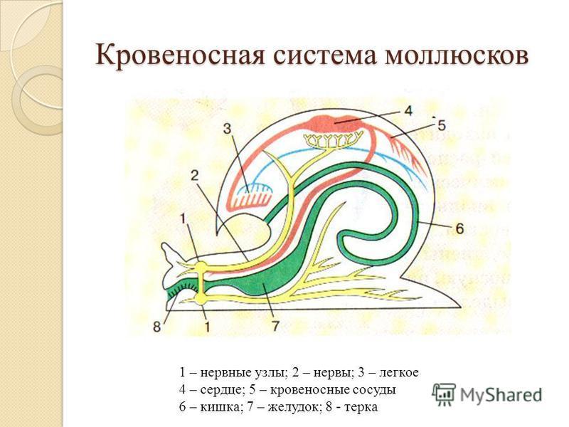 Кровеносная система моллюсков 1 – нервные узлы; 2 – нервы; 3 – легкое 4 – сердце; 5 – кровеносные сосуды 6 – кишка; 7 – желудок; 8 - терка
