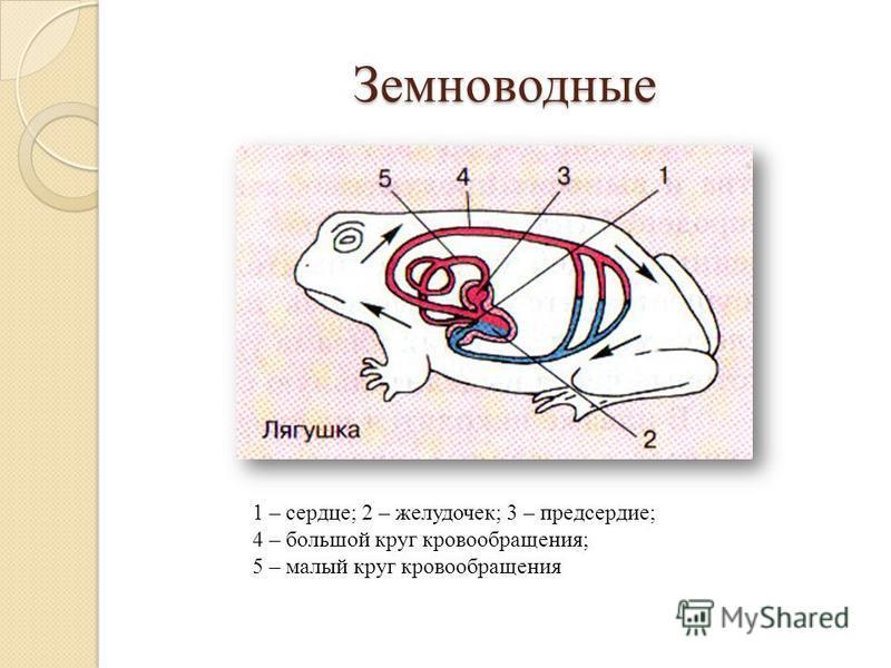 Земноводные 1 – сердце; 2 – желудочек; 3 – предсердие; 4 – большой круг кровообращения; 5 – малый круг кровообращения