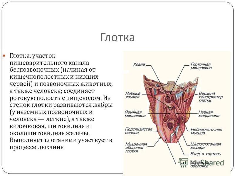 Глотка Глотка, участок пищеварительного канала беспозвоночных ( начиная от кишечнополостных и низших червей ) и позвоночных животных, а также человека ; соединяет ротовую полость с пищеводом. Из стенок глотки развиваются жабры ( у наземных позвоночны