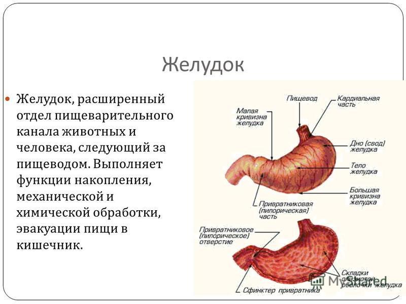 Желудок Желудок, расширенный отдел пищеварительного канала животных и человека, следующий за пищеводом. Выполняет функции накопления, механической и химической обработки, эвакуации пищи в кишечник.