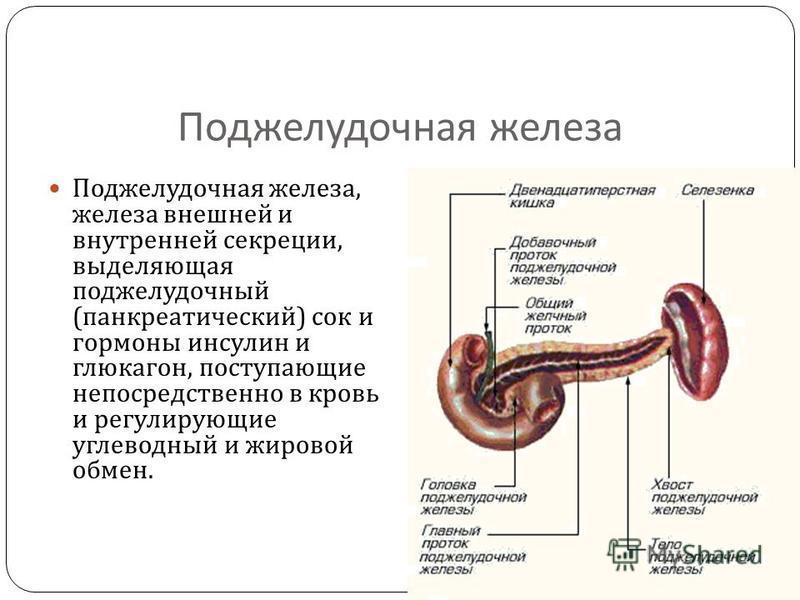 Поджелудочная железа Поджелудочная железа, железа внешней и внутренней секреции, выделяющая поджелудочный ( панкреатический ) сок и гормоны инсулин и глюкагон, поступающие непосредственно в кровь и регулирующие углеводный и жировой обмен.