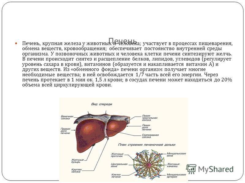 Печень Печень, крупная железа у животных и человека ; участвует в процессах пищеварения, обмена веществ, кровообращения ; обеспечивает постоянство внутренней среды организма. У позвоночных животных и человека клетки печени синтезируют желчь. В печени