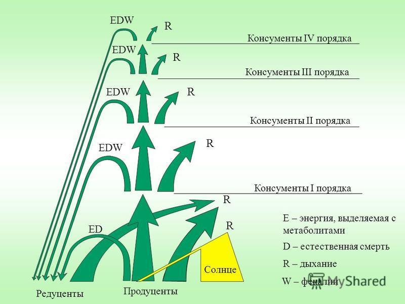 R R R R R EDW ED Редуценты Продуценты Консументы I порядка Консументы II порядка Консументы IV порядка Консументы III порядка Солнце Е – энергия, выделяемая с метаболитами D – естественная смерть W – фекалии R – дыхание R