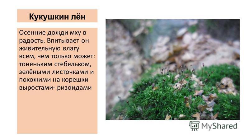 Кукушкин лён Осенние дожди мху в радость. Впитывает он живительную влагу всем, чем только может: тоненьким стебельком, зелёными листочками и похожими на корешки выростами- ризоидами