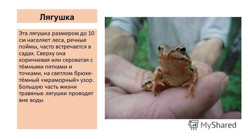 Лягушка Эта лягушка размером до 10 см населяет леса, речные поймы, часто встречается в садах. Сверху она коричневая или сероватая с тёмными пятнами и точками, на светлом брюхе- тёмный «мраморный» узор. Большую часть жизни травяные лягушки проводят вн