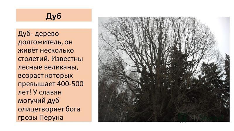 Дуб Дуб- дерево долгожитель, он живёт несколько столетий. Известны лесные великаны, возраст которых превышает 400-500 лет! У славян могучий дуб олицетворяет бога грозы Перуна