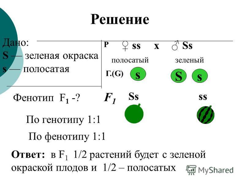 Дано: S зеленая окраска s полосатая Фенотип F 1 -? Р ss Ssх полосатый зеленый S s s Ss ss Ответ: в F 1 1/2 растений будет с зеленой окраской плодов и 1/2 – полосатых Решение Г.(G) F1F1 По генотипу 1:1 По фенотипу 1:1