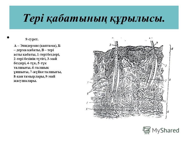 Тері қабатының құрылысы. 9-сурет. А – Эпидермис (қаптама), Б – дерма қабаты, В – тері асты қабаты, 1-тері бездері, 2-тері безінің түтігі, 3-май бездері, 4-түк, 5-түк талшығы, 6-талшық ұяшығы, 7-жүйке талшығы, 8-қан тамырлары, 9-май жасушалары.