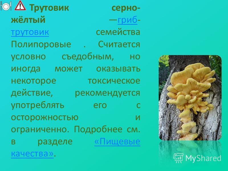 Трутовик серно- жёлтый гриб- трутовик семейства Полипоровые. Считается условно съедобным, но иногда может оказывать некоторое токсическое действие, рекомендуется употреблять его с осторожностью и ограниченно. Подробнее см. в разделе «Пищевые качества