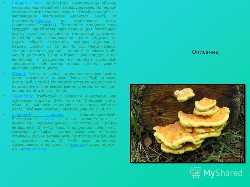 Плодовые тела однолетние, расположены обычно невысоко над землёй на стволах деревьев. На первой стадии развития трутовик серно-жёлтый выглядит как каплевидная желтоватая мясистая масса от интенсивно-жёлтого, до оранжевого цвета («наплывная форма»). П