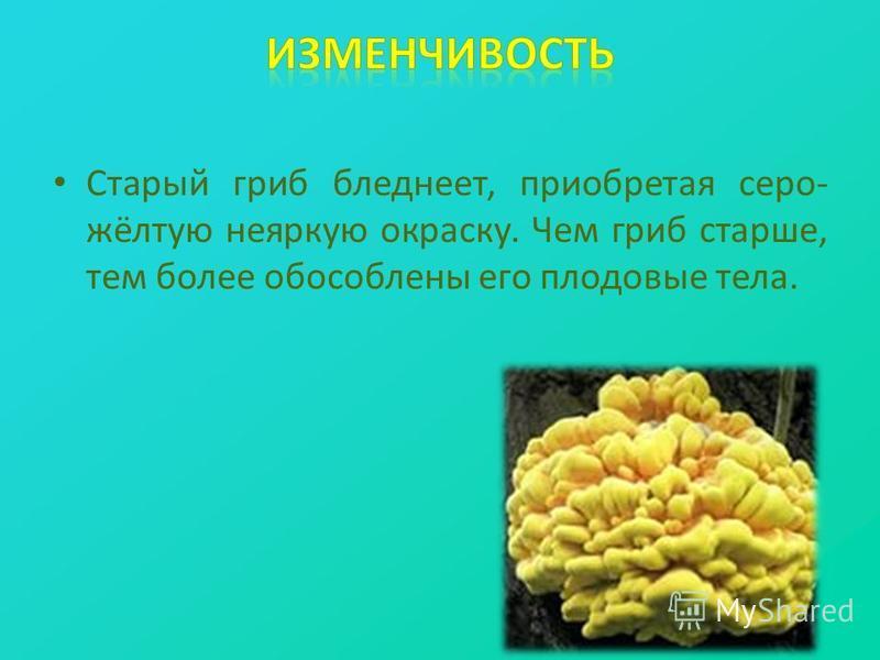 Старый гриб бледнеет, приобретая серо- жёлтую неяркую окраску. Чем гриб старше, тем более обособлены его плодовые тела.