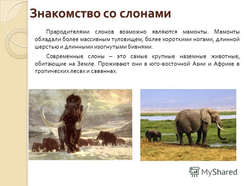 Знакомство со слонами Прародителями слонов возможно являются мамонты. Мамонты обладали более массивным туловищем, более короткими ногами, длинной шерстью и длинными изогнутыми бивнями. Современные слоны – это самые крупные наземные животные, обитающи