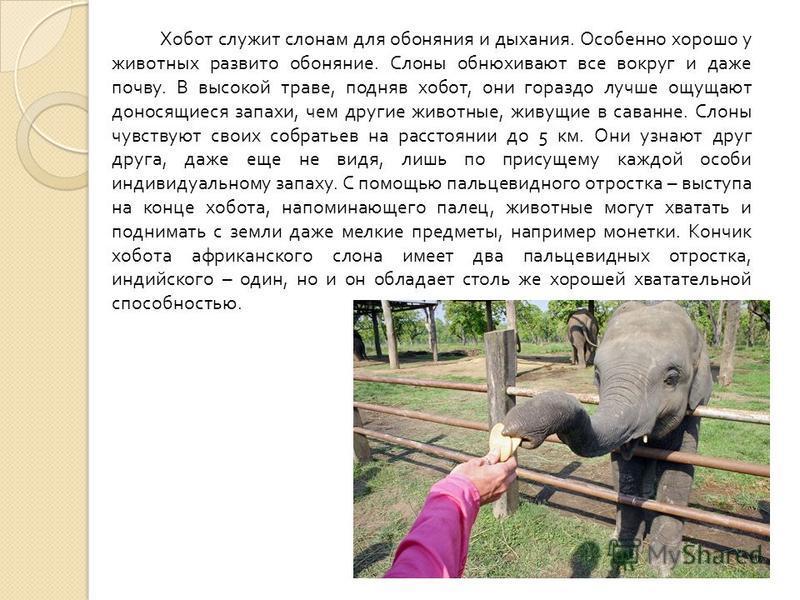 Хобот служит слонам для обоняния и дыхания. Особенно хорошо у животных развито обоняние. Слоны обнюхивают все вокруг и даже почву. В высокой траве, подняв хобот, они гораздо лучше ощущают доносящиеся запахи, чем другие животные, живущие в саванне. Сл