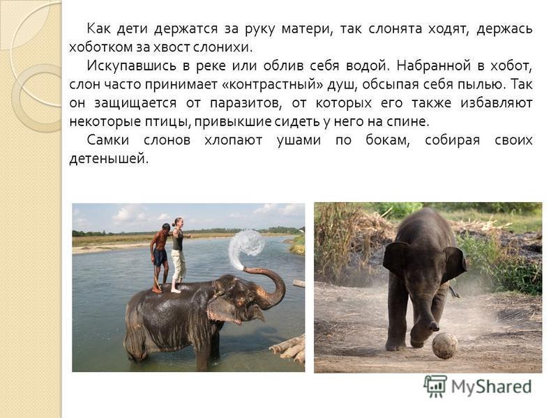 Как дети держатся за руку матери, так слонята ходят, держась хоботком за хвост слонихи. Искупавшись в реке или облив себя водой. Набранной в хобот, слон часто принимает « контрастный » душ, обсыпая себя пылью. Так он защищается от паразитов, от котор