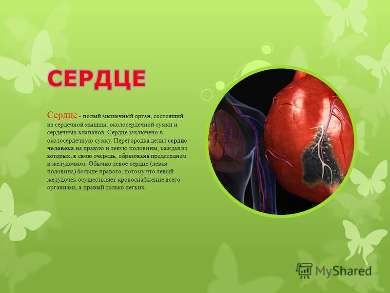 Сердце - полый мышечный орган, состоящий из сердечной мышцы, околосердечной сумки и сердечных клапанов. Сердце заключено в околосердечную сумку. Перегородка делит сердце человека на правую и левую половины, каждая из которых, в свою очередь, образова