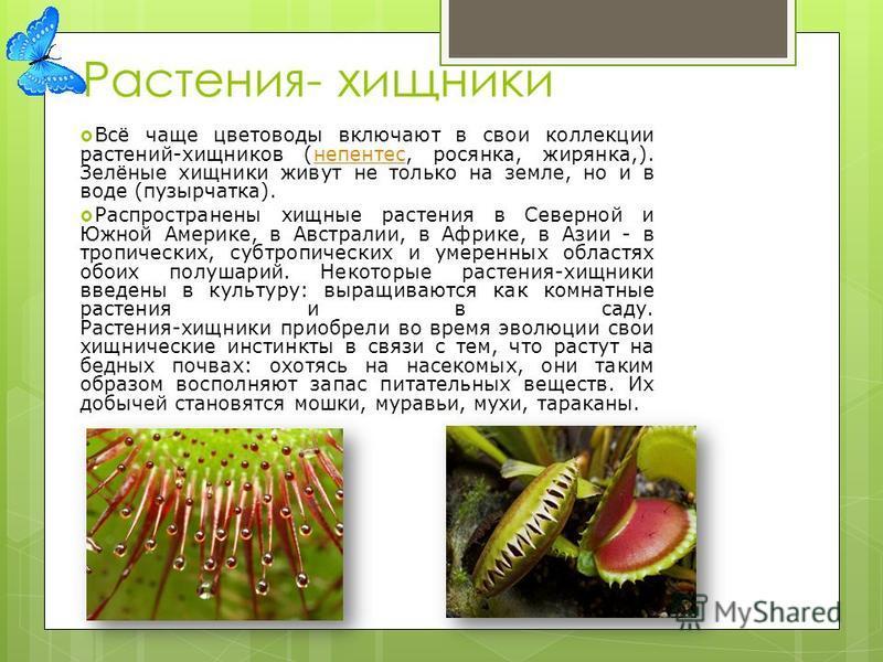 Растения- хищники Всё чаще цветоводы включают в свои коллекции растений-хищников (непентес, росянка, жирянка,). Зелёные хищники живут не только на земле, но и в воде (пузырчатка).непентес Распространены хищные растения в Северной и Южной Америке, в А