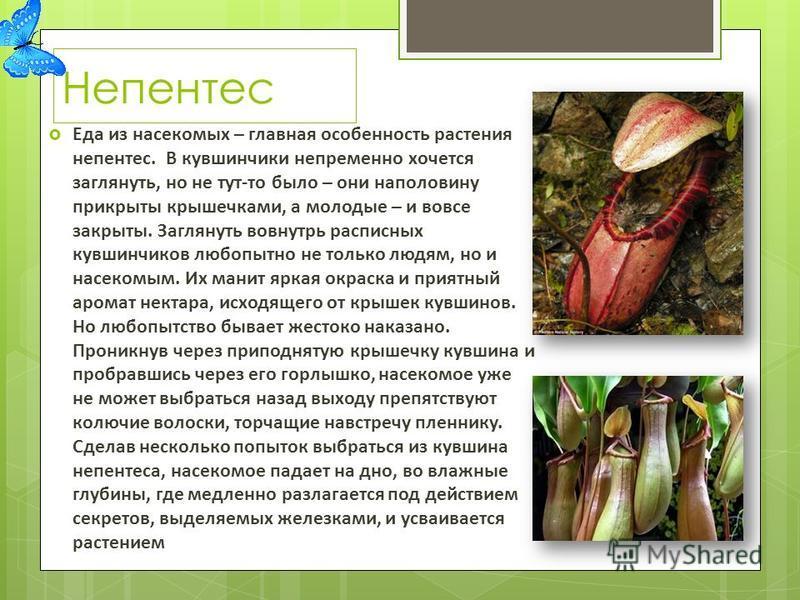 Непентес Еда из насекомых – главная особенность растения непентес. В кувшинчики непременно хочется заглянуть, но не тут-то было – они наполовину прикрыты крышечками, а молодые – и вовсе закрыты. Заглянуть вовнутрь расписных кувшинчиков любопытно не т