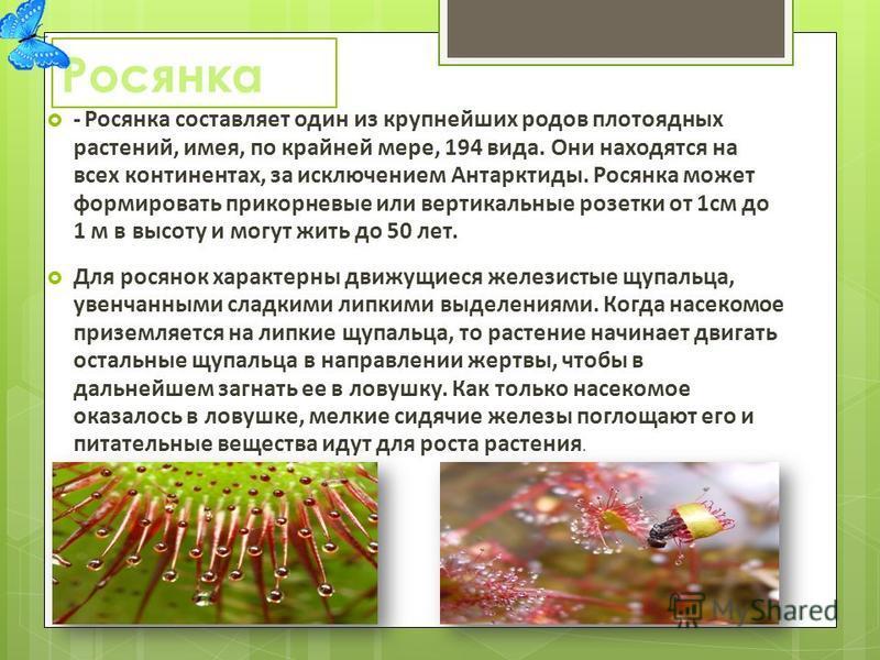 Росянка - Росянка составляет один из крупнейших родов плотоядных растений, имея, по крайней мере, 194 вида. Они находятся на всех континентах, за исключением Антарктиды. Росянка может формировать прикорневые или вертикальные розетки от 1 см до 1 м в