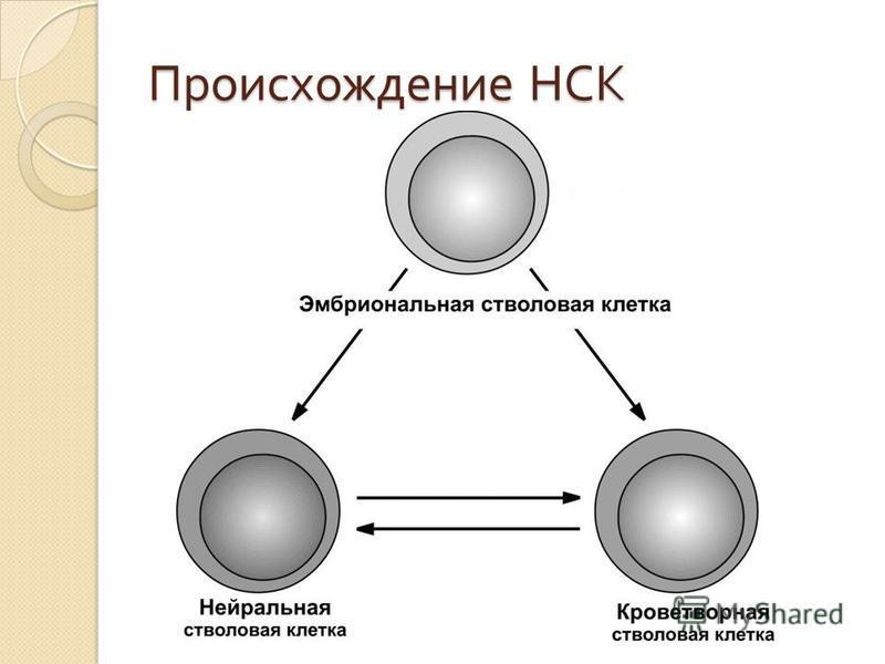 Происхождение НСК