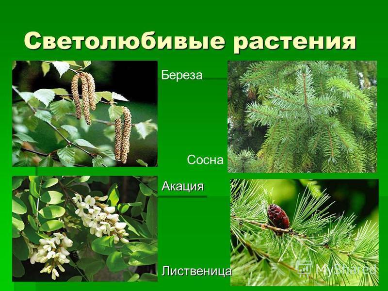 Светолюбивые растения Береза Акация Сосна Лиственица