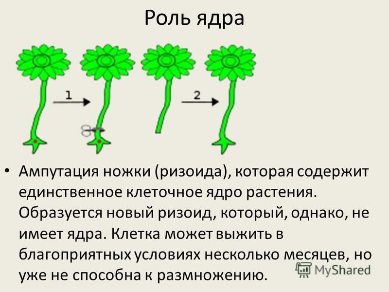 Роль ядра Ампутация ножки (ризоида), которая содержит единственное клеточное ядро растения. Образуется новый ризоид, который, однако, не имеет ядра. Клетка может выжить в благоприятных условиях несколько месяцев, но уже не способна к размножению.