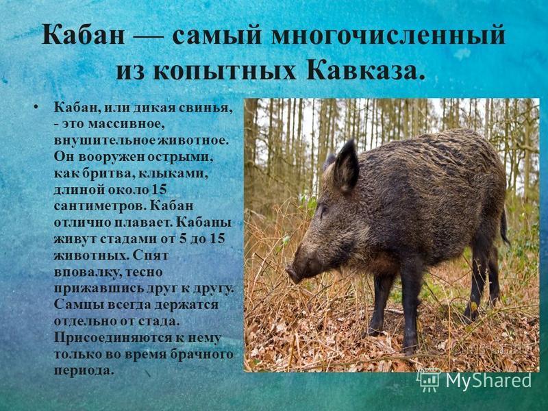 Кабан самый многочисленный из копытных Кавказа. Кабан, или дикая свинья, - это массивное, внушительное животное. Он вооружен острыми, как бритва, клыками, длиной около 15 сантиметров. Кабан отлично плавает. Кабаны живут стадами от 5 до 15 животных. С