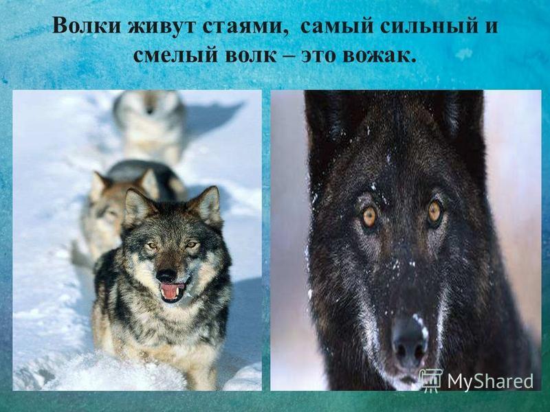 Волки живут стаями, самый сильный и смелый волк – это вожак.