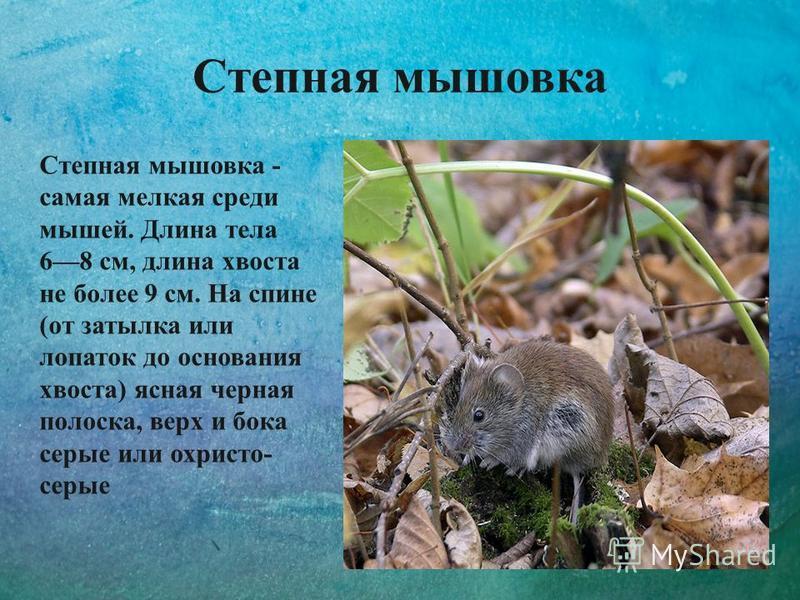 Степная мышовка Степная мышовка - самая мелкая среди мышей. Длина тела 68 см, длина хвоста не более 9 см. На спине (от затылка или лопаток до основания хвоста) ясная черная полоска, верх и бока серые или охристо- серые