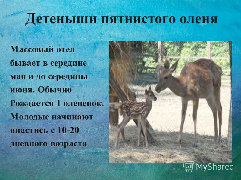 Детеныши пятнистого оленя Массовый отел бывает в середине мая и до середины июня. Обычно Рождается 1 олененок. Молодые начинают спастись с 10-20 дневного возраста
