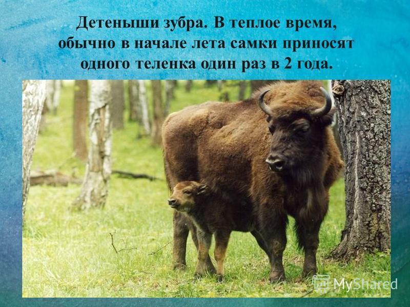Детеныши зубра. В теплое время, обычно в начале лета самки приносят одного теленка один раз в 2 года.