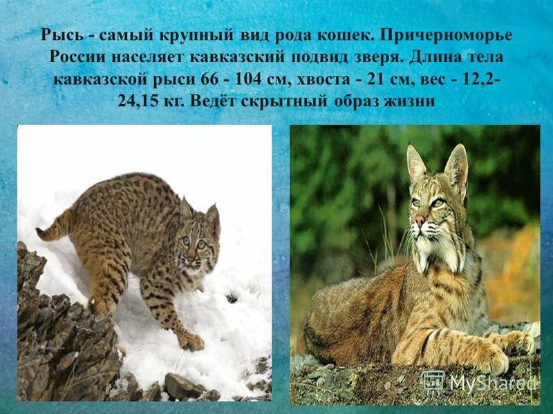 Рысь - самый крупный вид рода кошек. Причерноморье России населяет кавказский подвид зверя. Длина тела кавказской рыси 66 - 104 см, хвоста - 21 см, вес - 12,2- 24,15 кг. Ведёт скрытный образ жизни