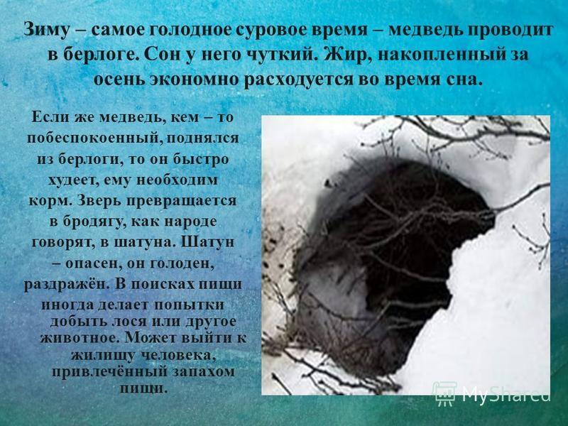 Зиму – самое голодное суровое время – медведь проводит в берлоге. Сон у него чуткий. Жир, накопленный за осень экономно расходуется во время сна. Если же медведь, кем – то побеспокоенный, поднялся из берлоги, то он быстро худеет, ему необходим корм.