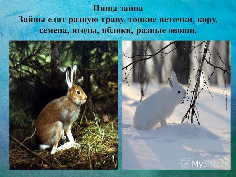 Пища зайца Зайцы едят разную траву, тонкие веточки, кору, семена, ягоды, яблоки, разные овощи.