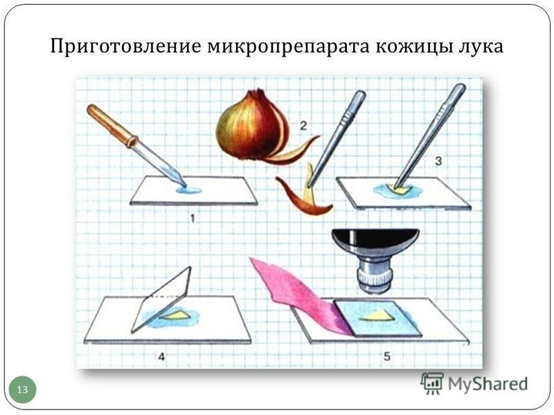 13 Приготовление микропрепарата кожицы лука