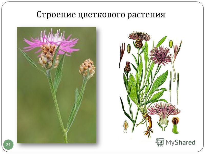 Строение цветкового растения 24
