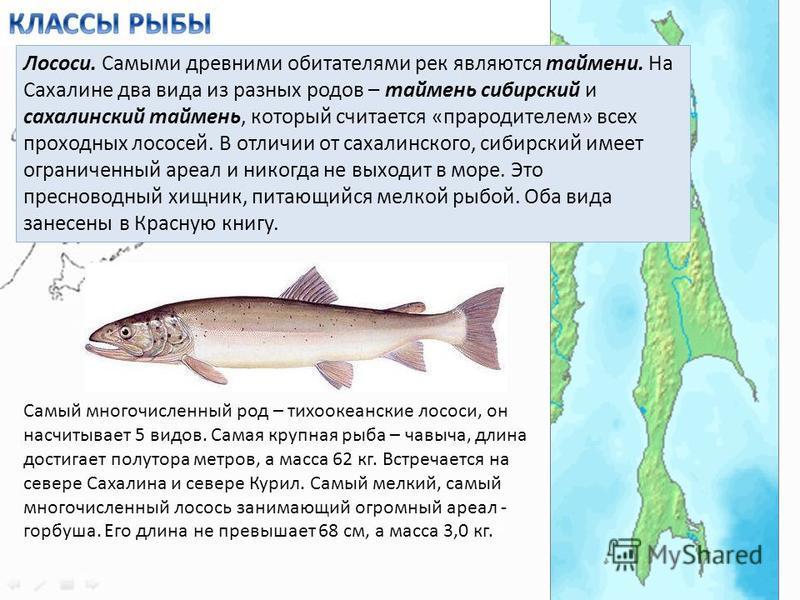 Лососи. Самыми древними обитателями рек являются таймени. На Сахалине два вида из разных родов – таймень сибирский и сахалинский таймень, который считается «прародителем» всех проходных лососей. В отличии от сахалинского, сибирский имеет ограниченный