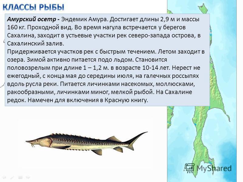 Амурский осетр - Эндемик Амура. Достигает длины 2,9 м и массы 160 кг. Проходной вид. Во время нагула встречается у берегов Сахалина, заходит в устьевые участки рек северо-запада острова, в Сахалинский залив. Придерживается участков рек с быстрым тече