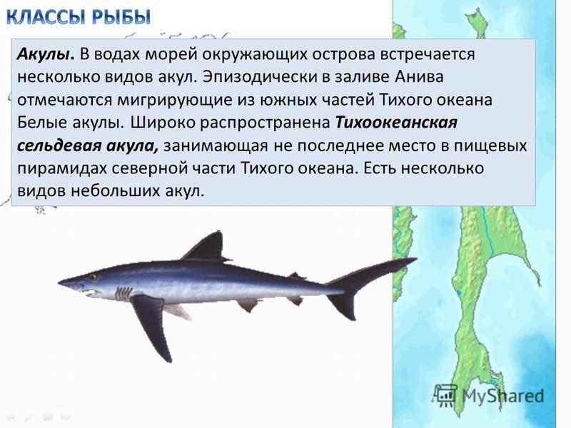 Акулы. В водах морей окружающих острова встречается несколько видов акул. Эпизодически в заливе Анива отмечаются мигрирующие из южных частей Тихого океана Белые акулы. Широко распространена Тихоокеанская сельдевая акула, занимающая не последнее место