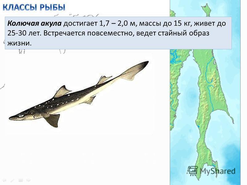 Колючая акула достигает 1,7 – 2,0 м, массы до 15 кг, живет до 25-30 лет. Встречается повсеместно, ведет стайный образ жизни.
