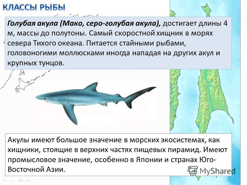 Голубая акула (Мако, серо-голубая акула), достигает длины 4 м, массы до полутоны. Самый скоростной хищник в морях севера Тихого океана. Питается стайными рыбами, головоногими моллюсками иногда нападая на других акул и крупных тунцов. Акулы имеют боль
