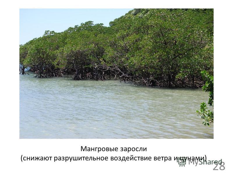 Мангровые заросли (снижают разрушительное воздействие ветра и цунами) 28