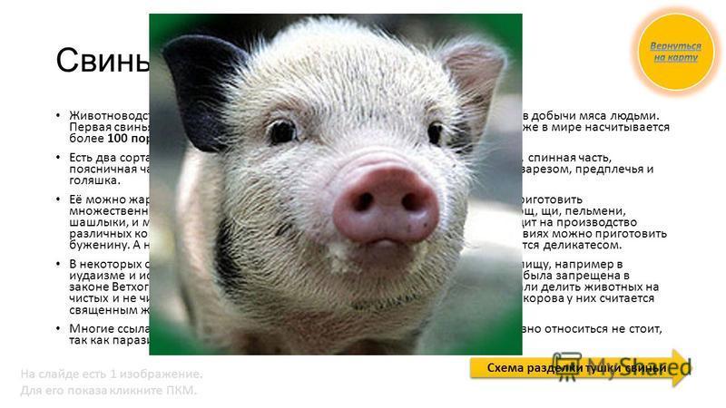 Свиньи и свинина Животноводство, а в частности свиноводство одно из самых древних способов добычи мяса людьми. Первая свинья была одомашнена человеком около 8 тысяч лет назад, сейчас же в мире насчитывается более 100 пород свиней. Есть два сорта мяса